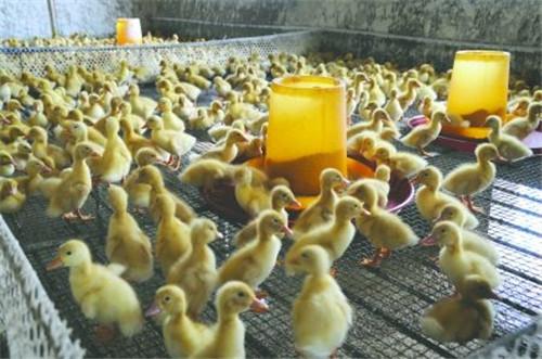 肉鸭笼生产厂家